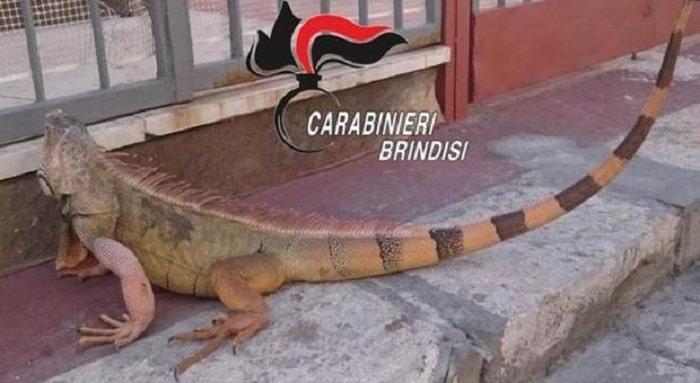 iguana gigante san pietro vernotico