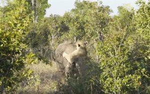 leonessa elefante lotta
