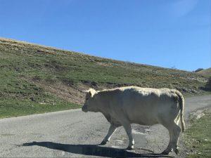 martina franca motociclista muore dopo essersi scontrato con una mucca