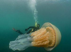 meduse giganti