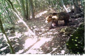 L'orso M49 durante la fuga