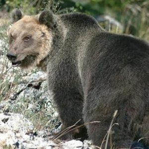 """Trentino, orso M49 scappa dal recinto ed è in fuga. Ordine: """"Sparate a vista"""""""