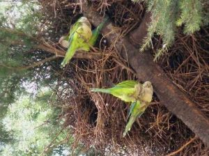 L'invasione di pappagalli verdi minaccia le mandorle in Puglia