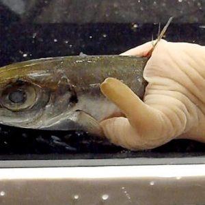 verme nemertino mangia pesce