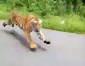india tigre del bengala
