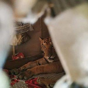 Tigre sul letto di una casa in India