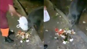 """Roma, operatori Ama danno da mangiare rifiuti ai cinghiali. Raggi pubblica il video: """"Inaccettabile"""""""