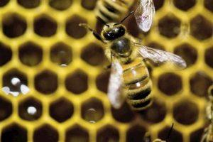 L'apicoltore Francesco Ruini attaccato da uno sciame d'api: era in Africa per insegnare il suo mestiere