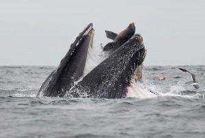 Balena leone marino