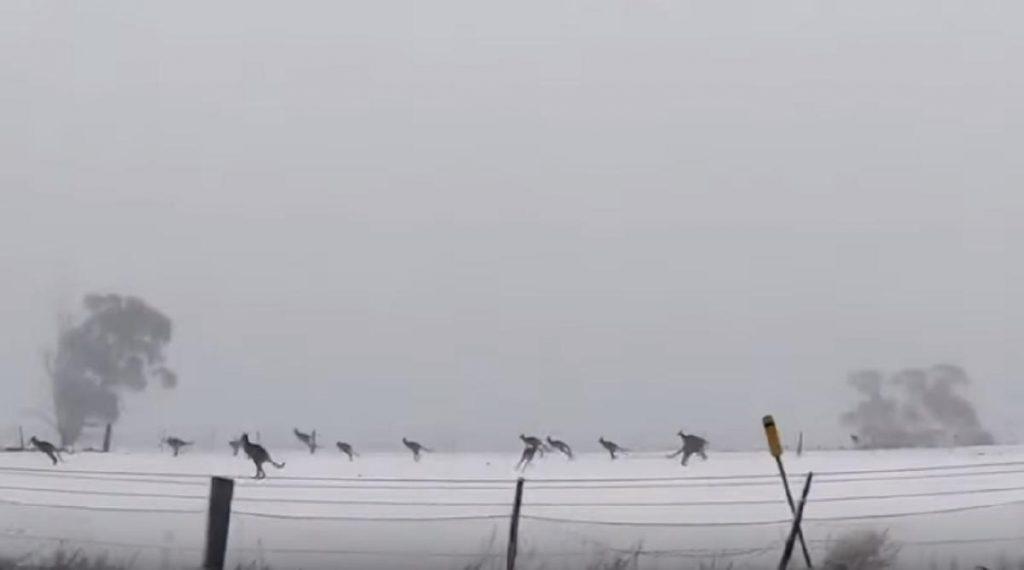 canguri saltano sulla neve in australia