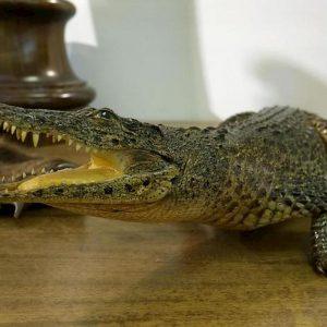 coccodrillo Ansa