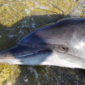 Uno dei delfini morti in Toscana