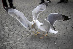 Gabbiani a Parigi, emergenza infernale