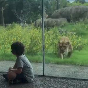 Il leone cerca di aggredire il bambino, ma un vetro li separa