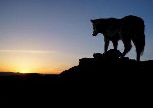 Alta Val Sesia: stragi di pecore, sono tornati i lupi