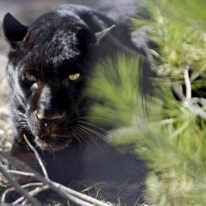 Cremona, una pantera nera spaventa la provincia da alcuni giorni. Ultimo avvistamento a Mento