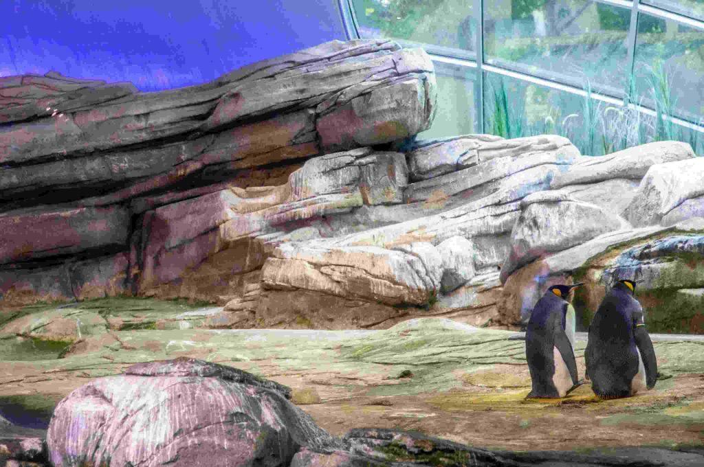 Pinguini gay covano uovo allo zoo