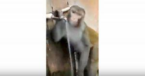scimmia beve dalla fontanella in india