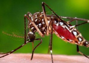Zanzare infette virus mortale