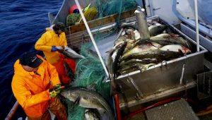 Merluzzo sta scomparendo dal Mare del Nord: le acque sono più calde, specie a rischio