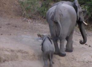 cucciolo elefante bloccato