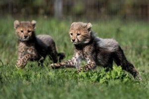 Ghepardi rischio estinzione