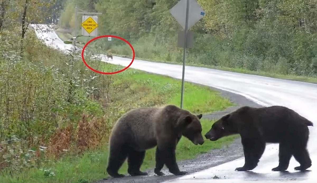 La rissa tra orsi, e la strada diventa il ring dei grizzly