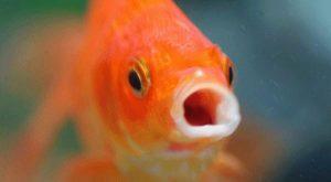Pesce rosso di un grammo operato di tumore all'addome: è il più piccolo paziente del Regno Unito