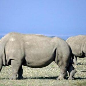 Rinoceronte bianco, creati embrioni con sperma congelato per salvarlo da estinzione. Sono rimaste solo 2 femmine