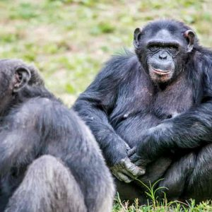 Scimmie in fuga a Bussolengo (Verona): sos al Parco Natura Viva, 3 scimpanzè persi e poi trovati