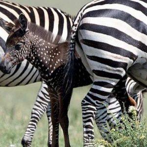 zebra pois kenya
