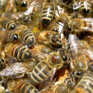 Api da miele in grado di fare calcoli matematici: la scoperta in uno studio