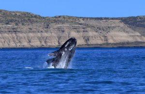 Vomito balena thailandia ambra grigia
