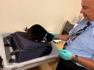 Gatto si nasconde nel bagaglio a mano dei padroni: scoperto ai controlli in aeroporto