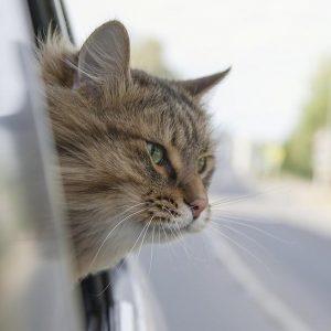 Torino, trova un gatto smarrito e chiede 1000 euro di riscatto: arrestata 54enne
