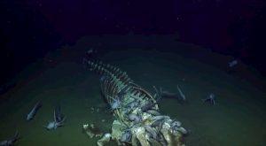 Polpi all'assalto della carcassa di balena in fondo al mare VIDEO