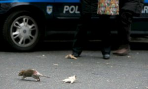 Roma rifiuti: topi e blatte sotto casa e per strada, condomini triplicano disinfestazione