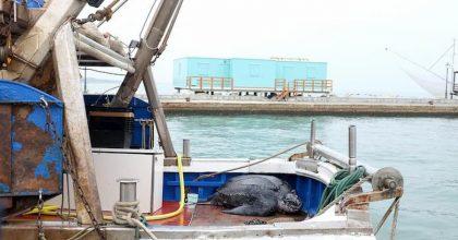 Tartaruga liuto da 300 kg pescata a Riccione