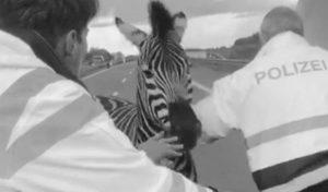 Zebra pumba