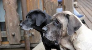 Cani, nel 2018 novemila furti sventati grazie al loro abbaiare
