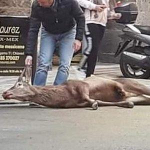Chiavari, cervo investito nel centro storico: è morto. Donate le carni alla mensa dei poveri