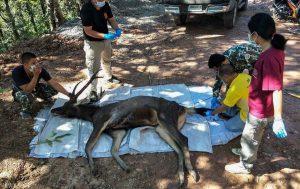 Thailandia, cervo morto in parco nazionale aveva chili plastica stomaco