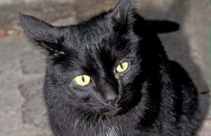 gatto nero foto milano