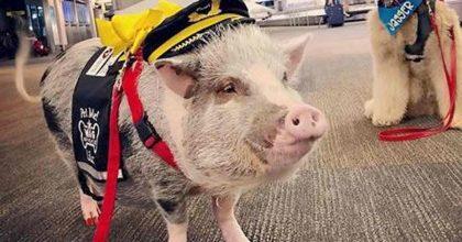 San Francisco, la maialina LiLou assunta in aeroporto per placare l'ansia dei passeggeri