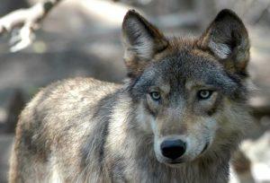 Un lupo, Ansa