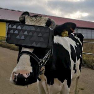 Le mucche con i visori per la realtà virtuale per fare il latte migliore