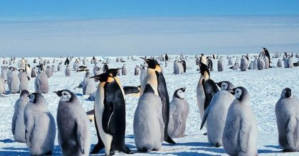 Pinguini, Ansa