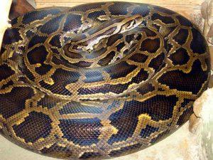 Usa, 36enne strangolata da un pitone a casa dello sceriffo: nell'abitazione 140 serpenti