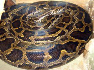 Pitone birmano più grande al mondo: quando lo comprò era lungo 20 cm