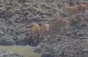 pitone gigante salta e afferra cervo